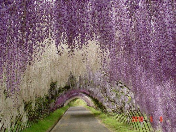 1.-Wisteria-Tunnel-Japan