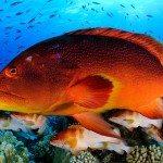 variola-iuti-fish-pitcairn-islands
